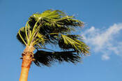 Queen Palm tree blowing in a strong wind
