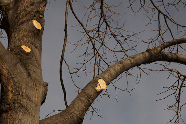 Pruning cuts on dormant red maple tree